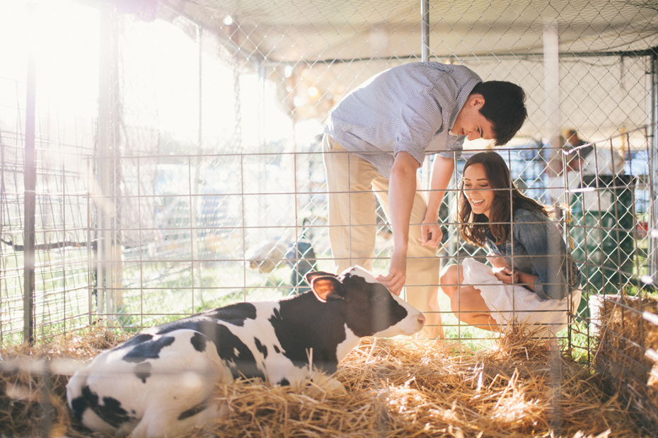 A couple pets a baby cow during their engagement session at the Saint Clair County 4h fair by photographer Heather Jowett.